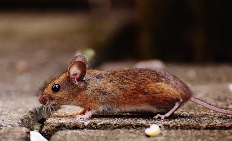 kecoa dan tikus